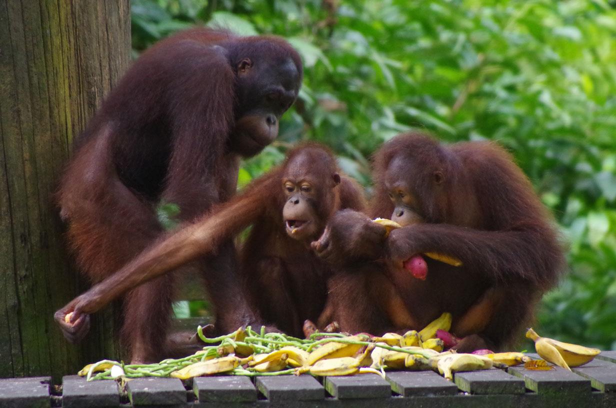 We saw 3 orangutans at the rehabilitation centre