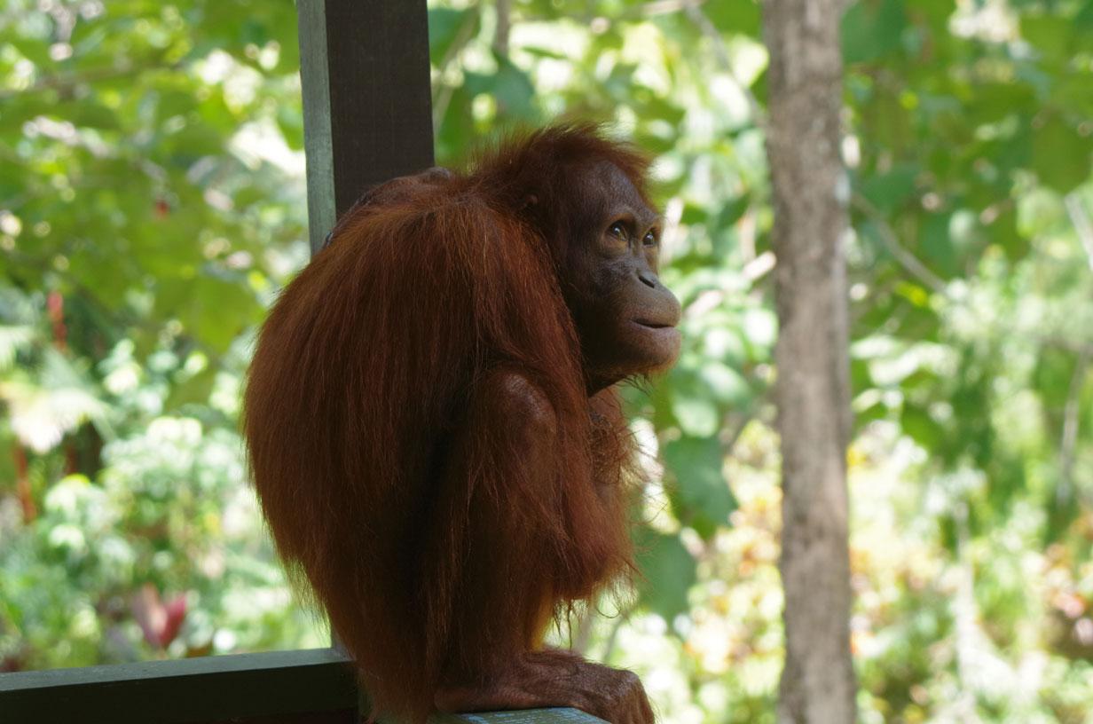 An orangutan in our resort!