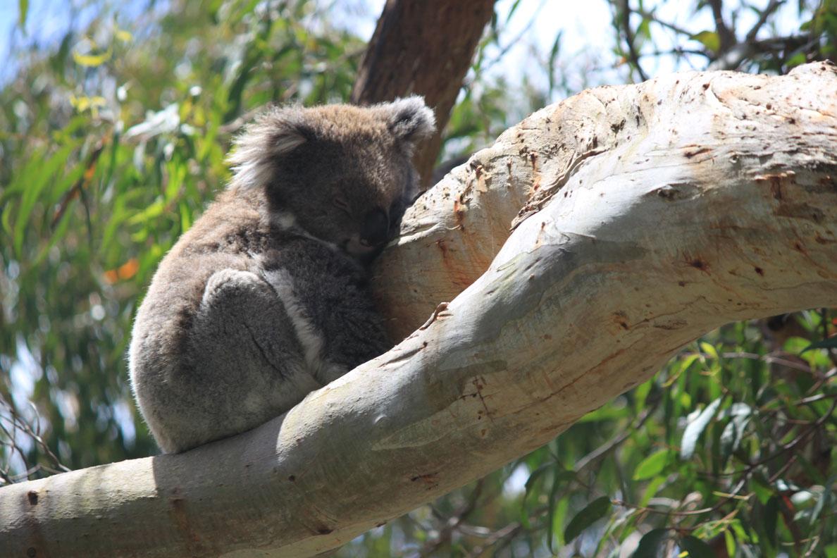 Koalaasleep