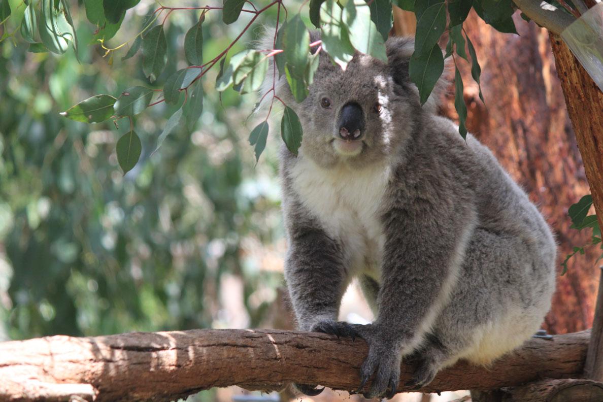 Koalaawake