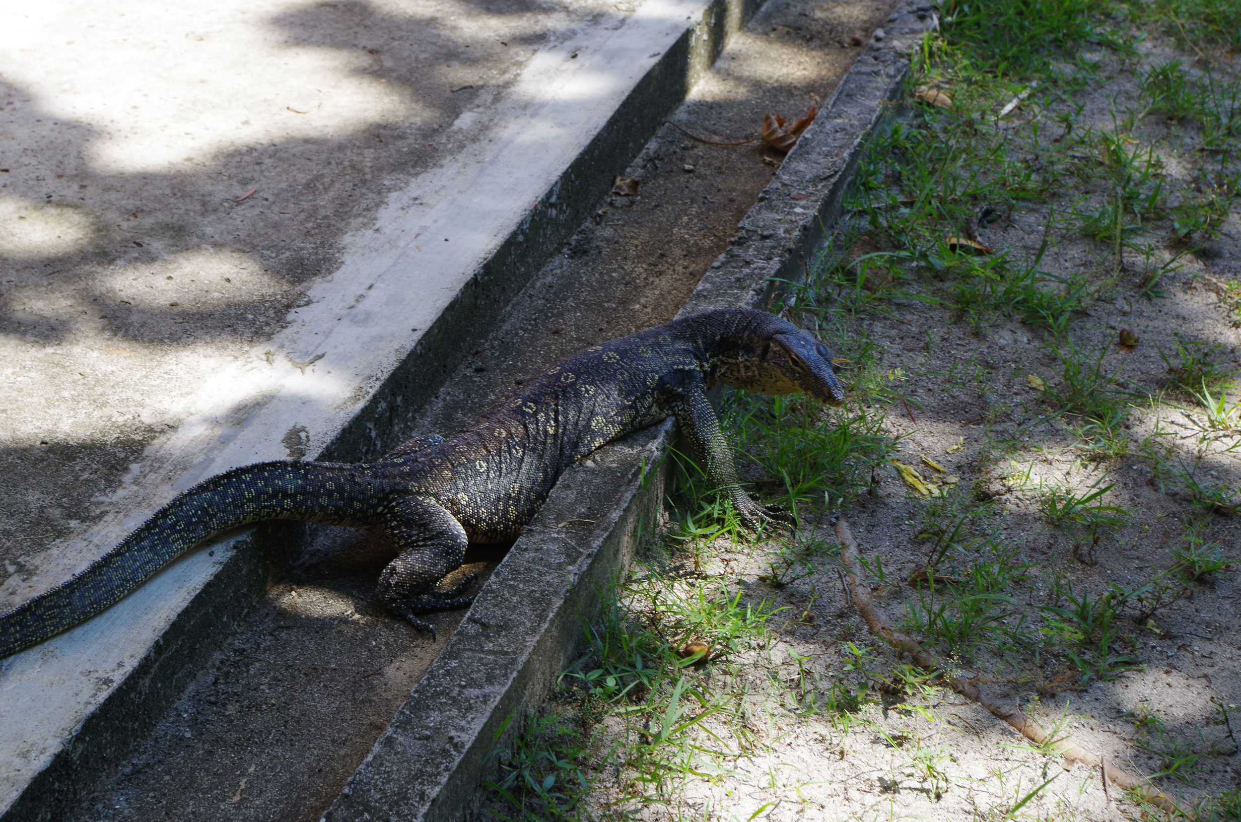 Monitor Lizards are abundant on the island