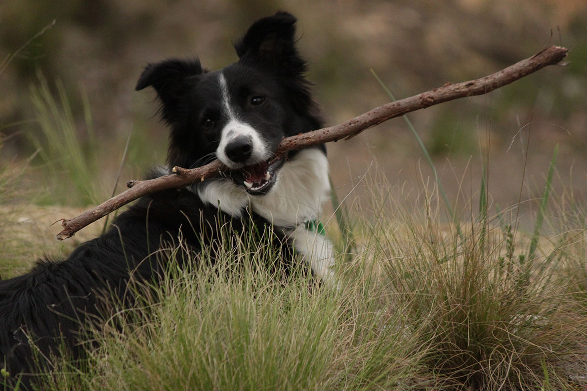 Photo Essay Pets from our Travels - Jessie from our first HelpX in Ballarat, definitely one of the smartest dogs we've met